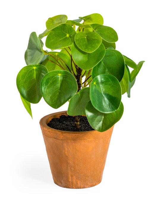 ORNAMENTAL PILEA:MONEY PLANT IN TERRACOTTA POT ITEM CODE- AF74