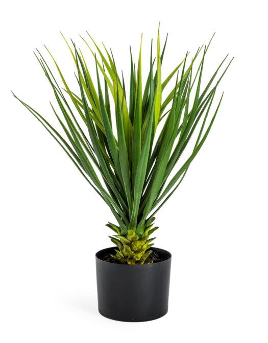 ORNAMENTAL POTTED YUCCA PLANT ITEM CODE- AF70