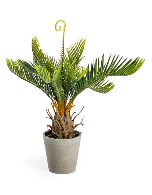 Ornamental Potted Cycad Plant