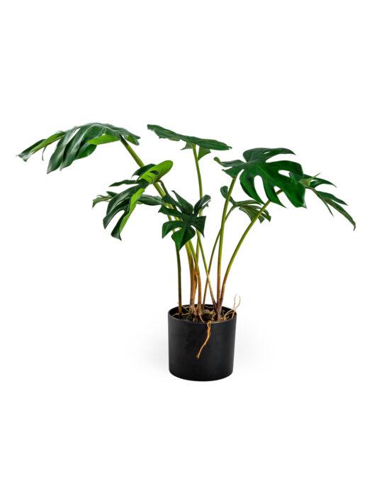 Ornamental Potted Split Philo Leaf Plant ORNAMENTAL POTTED SPLIT PHILO LEAF PLANT ITEM CODE- AF66