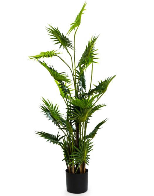 Ornamental Fan Palm Tree in Black Pot