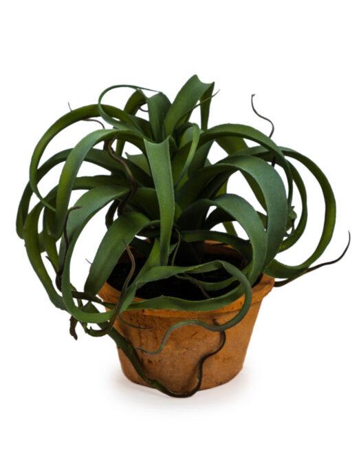 Large Ornamental Succulent in Terracotta Pot
